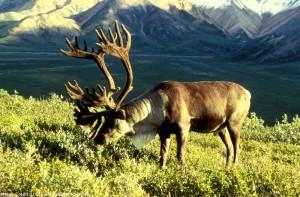 05. Woodland caribou