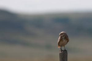 BurrowingOwl_CatherineJardine3