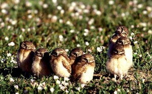 burrowing-owls